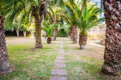 Greeny large Palm Trees in AveryIsland, Louisiana royalty free stock photo