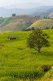 Greeny rice field Stock Image