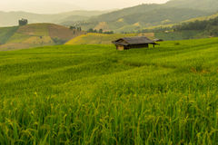 Greeny rice terrace field Royalty Free Stock Photography