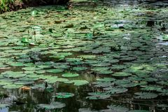 Greeny Water Lillies & Aquatic Plants. Stock footage of aquatic water plants specifically Water Lillies, photographed on the crocodile Island at ADA, Ghana, West royalty free stock photography