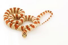 greer φίδι mexicana s lampropeltis βασιλιάδων greeri στοκ φωτογραφία