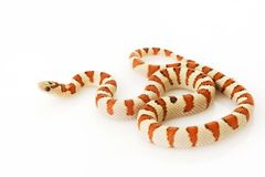 Greer�s King Snake (Lampropeltis mexicana greeri) Stock Image