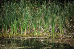 Greesn sprouts of bulrush marsh Royalty Free Stock Photography