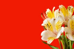 Greeting Card. Flowers on red. Blank for greeting card Royalty Free Stock Image