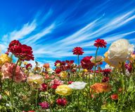 Greeting card. Beautiful landscape. Picturesque multi-colored garden buttercups. South of Israel, summer day. The concept of. Ecological, rural and phototourism stock photos