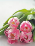 Greeting card. Bunch of fresh tulips upon white wooden table.ont. Copy space for your text. Royalty Free Stock Photos
