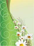 Greeting card with daisies. On a green background Royalty Free Stock Images