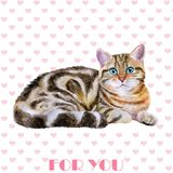 Greeting card design. Watercolor portrait of blue, brown british marble short hair cat  on hearts background Stock Images