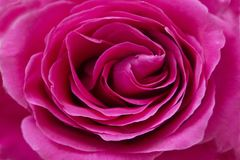 Pink rose up close with a macro lens space for text background Stock Photography