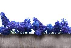 Greeting Card, grape hyacinths Stock Photography