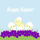 Greeting card Happy Easter. Three  light yellow Chicks hatch, a white shell, green grass, purple violets on a blue background Stock Photography
