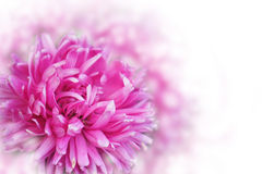Greeting card with pink flowers over the bokeh background Royalty Free Stock Image