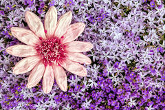 Greeting card pink paper flower with a sea of purple blooms Royalty Free Stock Images