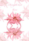 Greeting card with pink soft lily isolated Stock Image