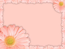 Greeting card with pink transvaal daisy flower. Beautiful greeting card with pink transvaal daisy flower on a pink background stock photography