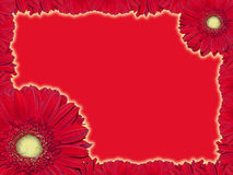 Greeting card with red transvaal daisy. On a red background stock photos