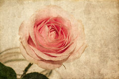 Greeting card. Rose blooming Stock Images