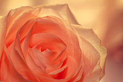 Greeting card. Rose for you Stock Image