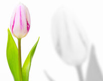 Greeting card, single tulip Stock Images