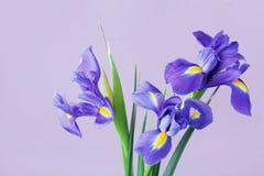 Greeting card with spring iris flowers. Stock Image