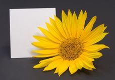 Greeting card with sunflower. White greeting card with copyspace and sunflower isolated on the dark grey background Stock Image