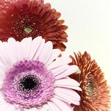 Greeting card with three gerber flowers. Close-up Royalty Free Stock Image
