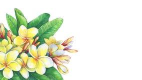 Greeting card of tropical resort flowers frangipani plumeria. royalty free illustration