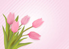 Greeting card with tulips. Greeting card with tulip flowers. Pink colored on striped background. Vector illustration Stock Image