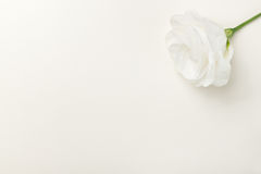 Greeting card with white rose Royalty Free Stock Photo