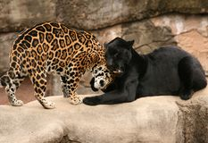 Greeting between Jaguars. Black and spotted jaguars being affectionate Royalty Free Stock Photography