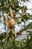 Greeting monkey. A spider monkey appears to be greeting the photographer as he swings from a high tree in the northern forests of Costa Rica Stock Image