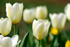 Greeting tulips Royalty Free Stock Images