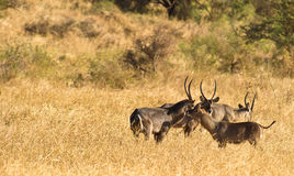 Greeting Waterbuck family Stock Photography