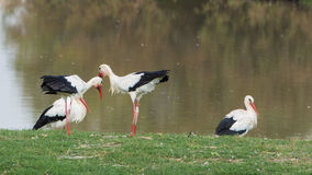 Greeting White Storks Stock Photos