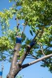 Greffe sur l'arbre fruitier photos stock