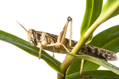 Gregaria Schistocerca - η ακρίδα ερήμων Στοκ Εικόνες