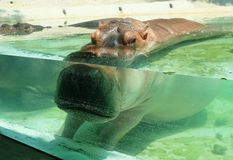 Gregarious River Hippopotamuses Swimming in The Pool Royalty Free Stock Photos