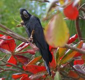Black Cockatoo Royalty Free Stock Photography