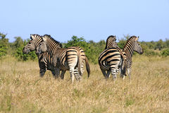 Gregge africano selvaggio della zebra Fotografia Stock