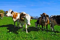 Gregge alpino delle mucche Fotografia Stock Libera da Diritti