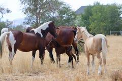 Gregge americano selvaggio dei cavalli del mustang con il puledro Immagini Stock Libere da Diritti