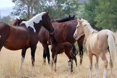 Gregge americano selvaggio dei cavalli del mustang con il puledro Fotografia Stock