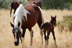 Gregge americano selvaggio dei cavalli del mustang con il puledro Fotografia Stock Libera da Diritti