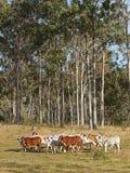 Gregge australiano dei bovini da carne Immagini Stock Libere da Diritti