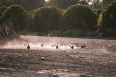 Gregge corrente dei guineafowls Fotografie Stock Libere da Diritti