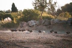 Gregge corrente dei guineafowls Immagini Stock Libere da Diritti