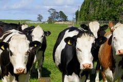 Gregge d'avanzamento minaccioso delle mucche fotografia stock libera da diritti