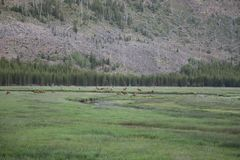 Gregge degli alci del parco nazionale di Yellowstone lungo Maddison River immagini stock libere da diritti