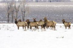 Gregge degli alci del Wyoming Fotografia Stock Libera da Diritti