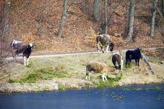 Gregge degli animali da allevamento delle mucche da latte sulla riva del lago o della sponda del fiume Fotografia Stock Libera da Diritti
